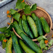 Cucumber Bedfordshire Prize Ridge - 50 Seeds / 100 seeds